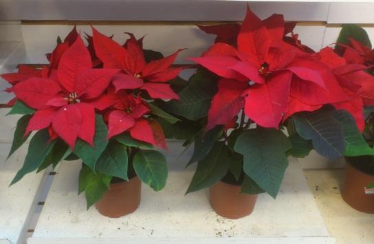 Christmas FlowersC